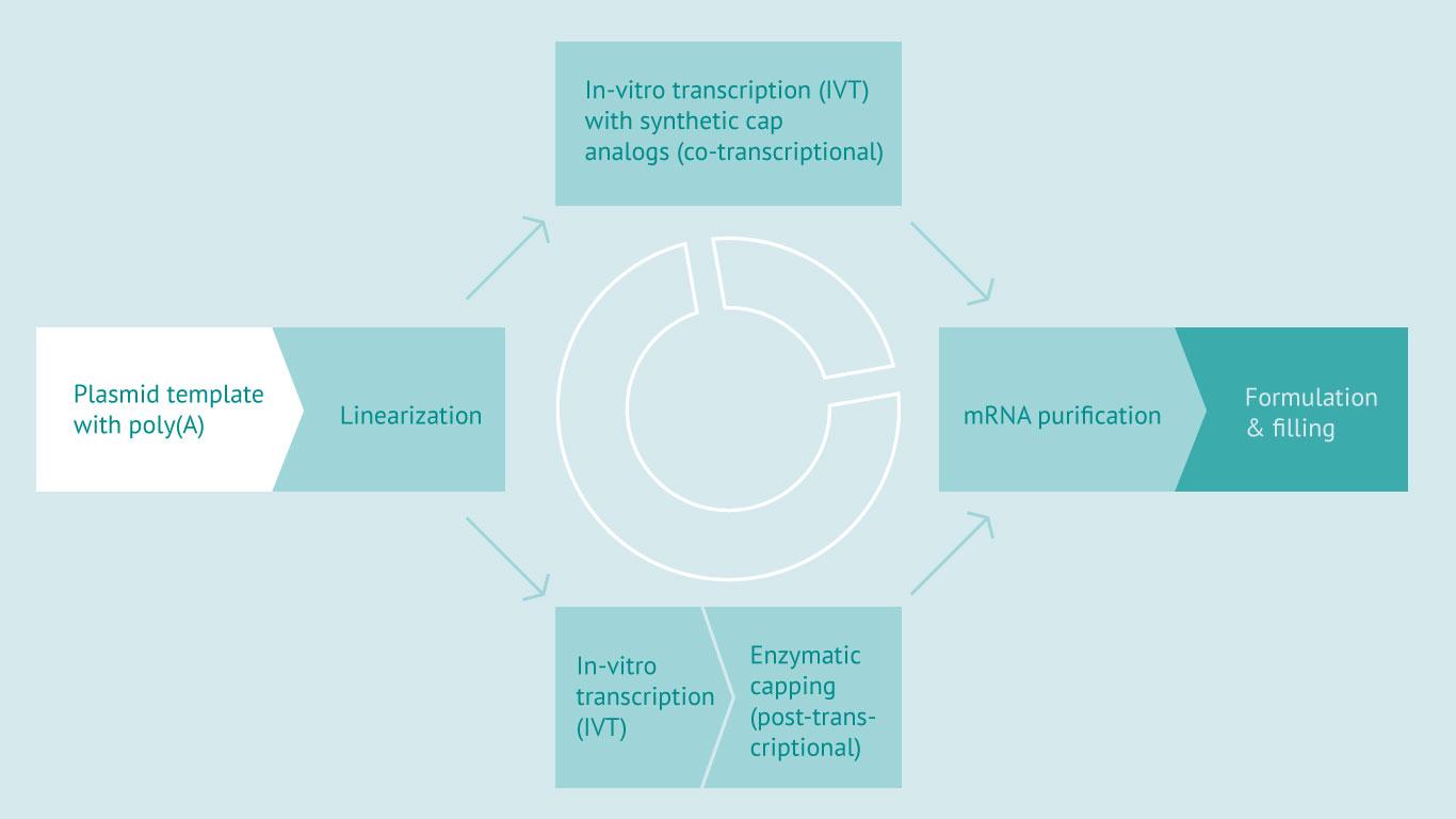 Plasmid template > Linearization > In-vitro transcription > mRNA purification > Formulation & filling